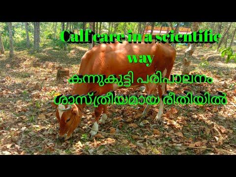 How to make a calf a good dairy cow       എങ്ങനെ ഒരു കന്നുകുട്ടിയെ നല്ല കറവപ്പശു ആക്കി എടുക്കാം