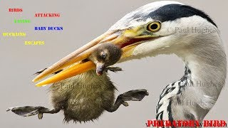 Video Heron feeding on baby waterbirds in a compilation of images MP3, 3GP, MP4, WEBM, AVI, FLV Agustus 2019
