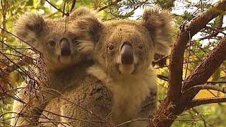 The Drones Saving Koalas
