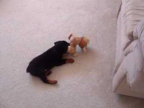 Little German Rottweiler Puppy Going Crazy
