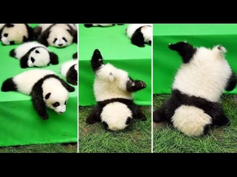 Baby panda does a faceplant as it tries to flee cute panda debut parade - becoming star of the show