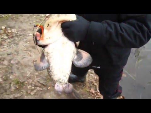 ловля сома в беларуси 2016