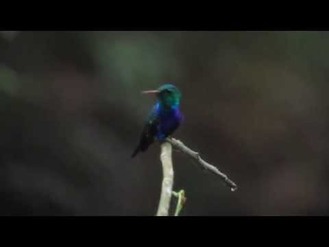 Near-endemic Violet-bellied Hummingbird - Damophila julie - Uraba, Caribbean Lowlands