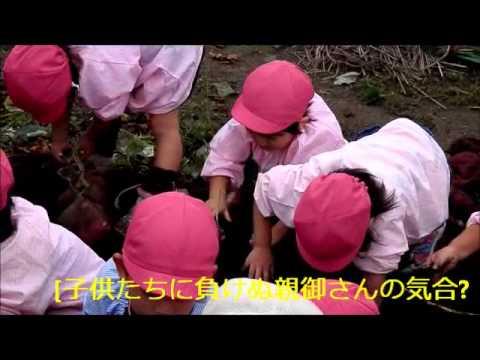 河戸幼稚園児の芋掘り