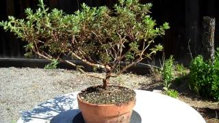 Very sorry. I recorded the root pruning and the potting part for this plant; unfortunately I accidentally deleted them and had a hard time recovering the files. Therefore, the Part 2 is only about an update of the plant a few weeks after the potting.