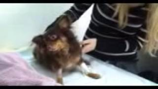 Christmas Miracle: Chihuahua With A Christmas Day Brain Injury (2 Days Later) [Video 1/2]