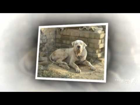 pakistani mastiff