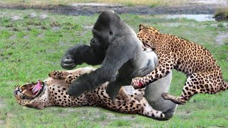 Video OMG! Gorillas Old too strong, Gorillas Rescue Antelope From Cheetah hunting, Antelope lucky escape MP3, 3GP, MP4, WEBM, AVI, FLV September 2018