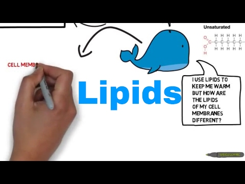 Lipids - Triglycerides and The Phospholipid Bilayer