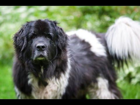 Landseer (Europäisch kontinentaler Typ) -Dog Breed
