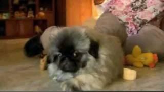 Dogs 101: Pekingese