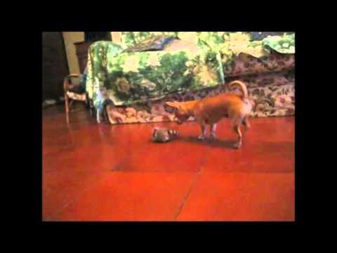 chihuahua vs tamagochi! funny video