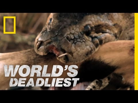 Python - In incredible footage, an African rock python swallows a springbok antelope. It has jaws designed to engulf meals three times bigger than its head.