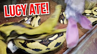 SHE ATE!! MY 20 FOOT PYTHON **Lucy** ATE!!! | BRIAN BARCZYK by Brian Barczyk