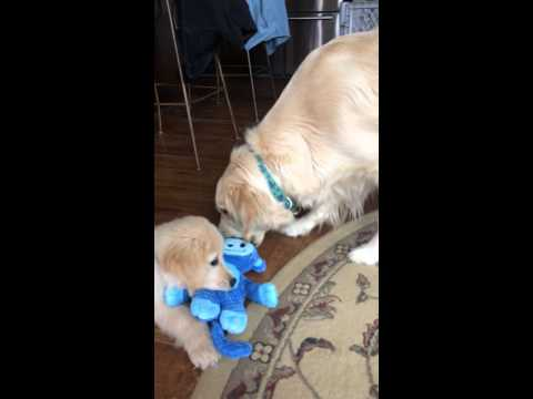 golden retriever mom & son playing