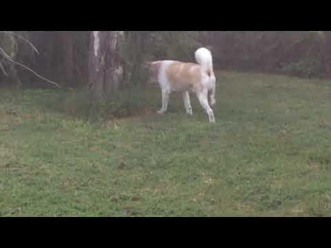 Akita in Hunting Mode