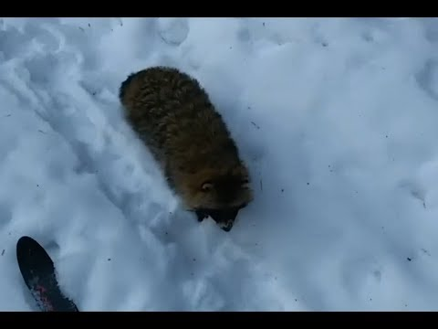 Нападение енота на лыжника
