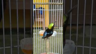 Kolibri Ninja gacor tarung isian cililin ft. belalang Black Diamond