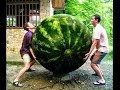 Amazing Fruits And Vegetable  Largest In The World | Top 42 Amazing Image
