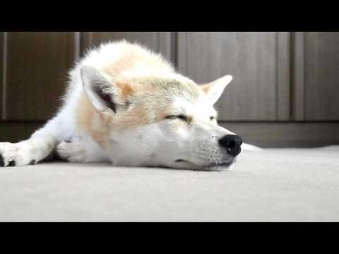 「[イヌ]まさに極楽気分で睡眠中のワンコの表情に癒される。」のイメージ