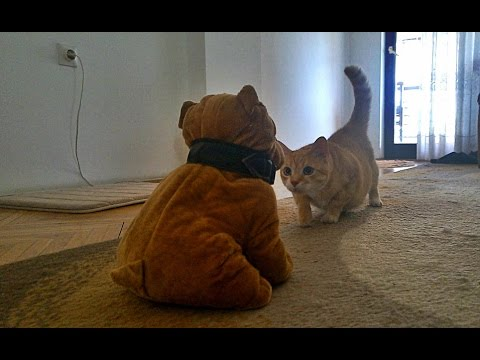 Cat's Reaction to Stuffed Dog