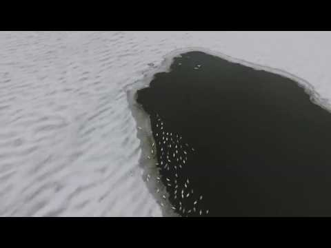 Богдашів: лебеді на зимовому озері [ВІДЕО]