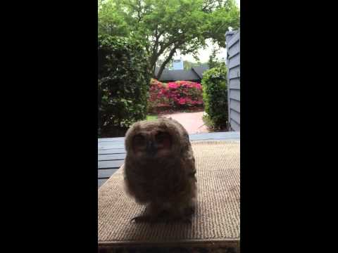 一開門貓頭鷹站在門口 屋主:我還以為是一隻小狗