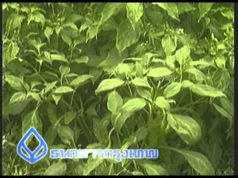 การปลูกพืชสมุนไพร - รายการเพื่อนคู่คิด โดย ธนาคารกรุงเทพ จำกัด (มหาชน) พิธีกร : อัจฉรา นววงศ์ ,ชรัส...