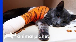 Tricky Elbow Surgery Saves Cat's Leg   Dr. Jeff: Rocky Mountain Vet by Animal Planet