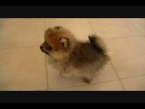 pomeranians - These puppies have all been SOLD to see what we have available now check our website www.shanerpoms.com.