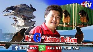 "Video Belajar Ternak MURAI BATU bareng Mr. ""G"" Kebumen BONGKAR RAHASIA Kandang Penangkarannya MP3, 3GP, MP4, WEBM, AVI, FLV Februari 2019"