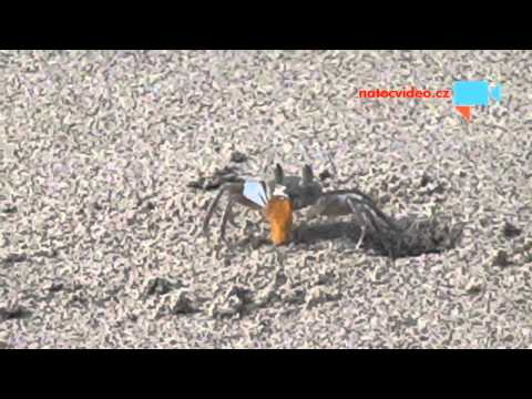 Krab svačí papayu.