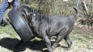 http://www.neapolitans.org The Mastino Napoletano (aka Neapolitan Mastiff or Italian Mastiff) is one of the most beautiful of the ancient dog breeds. Neos are both loyal companions and protectors. Wild Child Neapolitan Mastiff kennels has been devoted to the quality production of wonderful dogs of this breed; mastini display incredible and loyal temperaments, fabulous conformation and beauty. Wild Child Neos features the top breed bloodlines -- AKC TOP Breeder Award; AKC Breeder of Merit Award; record hip and elbow score in the breed for all the time, many other AKC TOP awards for accomplishments. Puppies / adult dogs are available on occasion - famous and prospective (World and International champions) bloodlines; selective elite stock and serious breeding program. Wild Child Neapolitan Mastiffs represent Champion, Best-in-Show winner over all FCI breeds at 2,2 years old, one of the biggest, largest, heaviest Neapolitan Mastiffs in history -- CH Samson (normal wait in good healthy shape, not overloaded, not fat, was 222 lbs. CH Samson was an exceptional example of the Neapolitan Mastiff Breed, he was hyperactive, healthy, intelligent, huge, heavy massive male, free from health issues, and has never had a cherry eye. He was blue/grey with a blue spot on his tongue.CH Samson was very friendly in temper dog towards all the humans, and at the same time was a great guardian and protector. He loved swimming and diving. RIP, CH Samson, gone but not forgotten. http://www.mastino.us