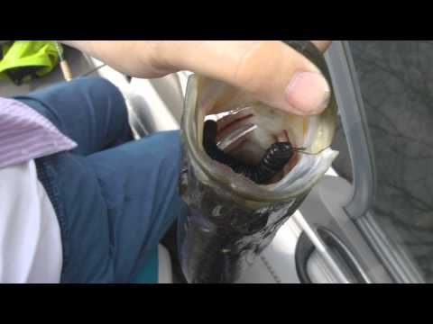 Deep Hooked Bass release Free Fishing Video on  Species  by WillCFish Tips and Tricks.