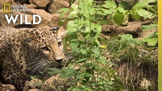 New Hope for Persian Leopards Once Hunted Near Extinction | Nat Geo Wild by Nat Geo WILD