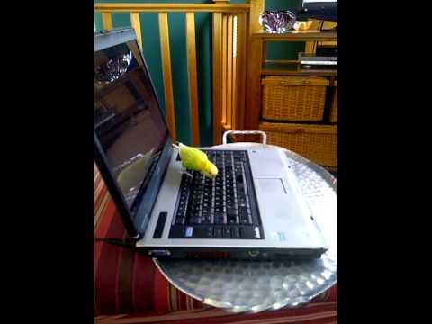 Ralph the Parakeet first of
