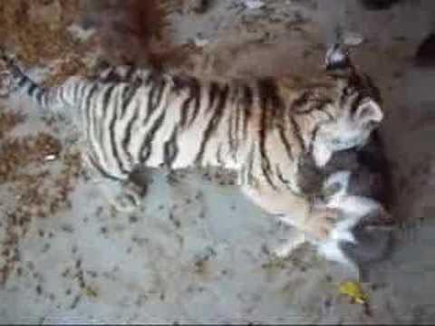 gatto e tigre: sono davvero amici!