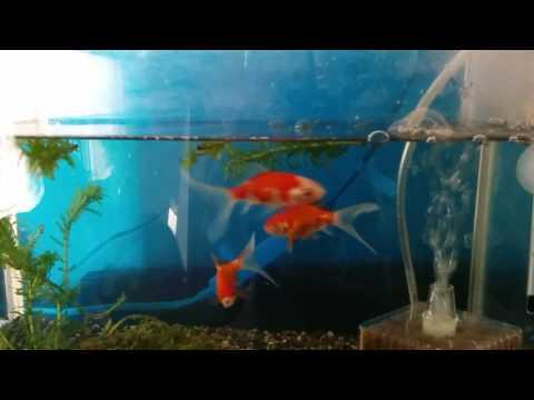 モモ 金魚 コメット エサやり風景