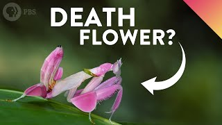 This video is perfect for adults orchids.Don't miss our next video! SUBSCRIBE! ►► http://bit.ly/iotbs_sub  ↓↓↓ More info and sources below ↓↓↓Many creatures wear disguises in order to keep safe from predators, but there are some that dress to kill. Orchid mantises are one of nature's most awesome examples of aggressive mimicry. These killer insects are almost indistinguishable from orchids! Scientists recently learned that their disguise doesn't work quite how we thought it did.Special thanks to YouTuber Fruchtpudding for letting us use their awesome orchid mantis hunting footage! https://www.youtube.com/user/Fruchtpudding-----------READ MORE:O'Hanlon, J. C. (2016). Orchid mantis. Current Biology, 26(4), R145-R146.O'Hanlon, J. C., Holwell, G. I., & Herberstein, M. E. (2013). Pollinator deception in the orchid mantis. The American Naturalist, 183(1), 126-132.O'Hanlon, J. C., Herberstein, M. E., & Holwell, G. I. (2014). Habitat selection in a deceptive predator: maximizing resource availability and signal efficacy. Behavioral Ecology, 26(1), 194-199.-----------FOLLOW US:Merch: https://store.dftba.com/collections/its-okay-to-be-smart Facebook: http://www.facebook.com/itsokaytobesmartTwitter: @okaytobesmart @DrJoeHansonTumblr: http://www.itsokaytobesmart.com Instagram: @DrJoeHansonSnapchat: YoDrJoe-----------It's Okay To Be Smart is hosted by Joe Hanson, Ph.D.Director: Joe NicolosiWriter: Sarah KeartesProducer/editor/animator: Andrew MatthewsProducer: Stephanie Noone and Amanda FoxProduced by PBS Digital StudiosMusic via APMStock images from Shutterstock http://www.shutterstock.com