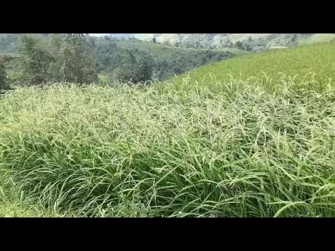 Ntsuaj xyooj (видео)