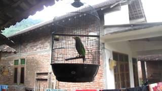 download lagu download musik download mp3 Kicauan Burung Langka dan Aneh