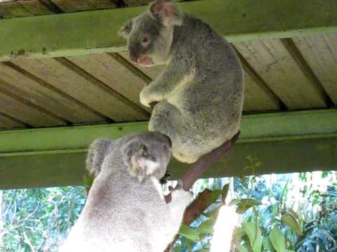 Crazy Koala Fight - YouTube