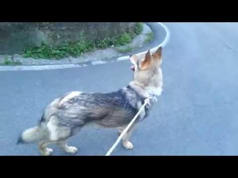 Czechoslovakian Wolfdog .Cane lupo cecoslovacco. STARK  Wolf Hybrid