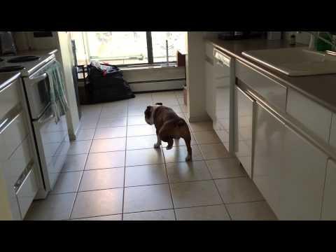 Koira ja kuumottava laattalattia