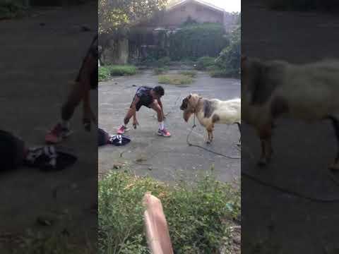 Kiedy twój pijany kumpel odwala taką akcję, że nawet koza nie wie o co chodzi