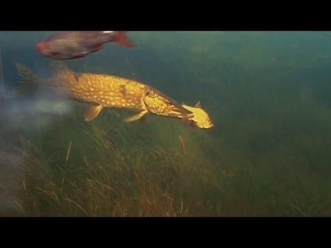 Fishing phenomenon: pike vs rudd / attack. Underwater camera Рыбалка щука и живец Подводня съёмка
