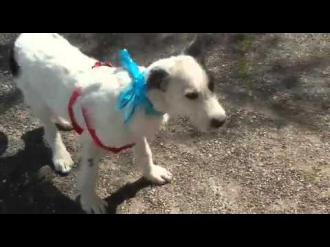 Adozione cucciolo ralf incrocio border collie jack russel in regalo