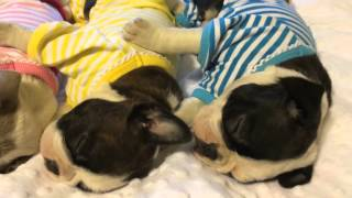 Boston Terrier puppies sleep adorably in pajamas