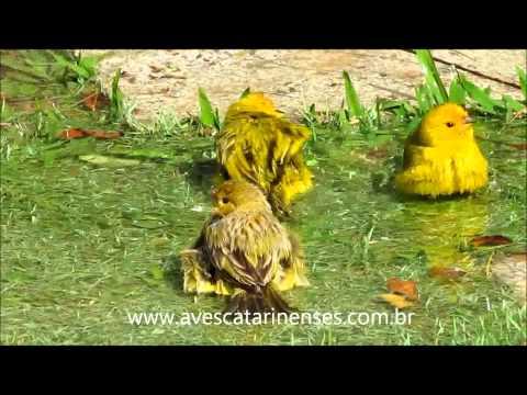 Canário-da-terra-verdadeiro - Cristiano Voitina