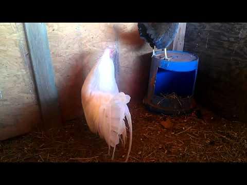 White hatch gamefowl / Gallo Blanco hatch Gallo Blanco hatch linea